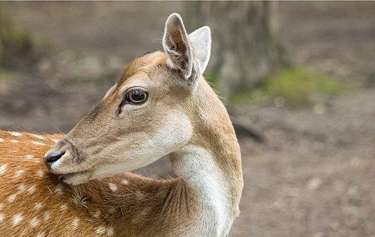 Fallow Deer, Mammal, Animal, Wildlife Park