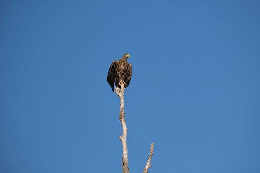 White-tailed Eagle, Perched, Bird, Perched Bird