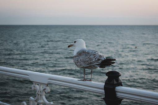 Seagull, Bird, Coast, Sea, Gull, Seabird, Animal