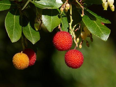 Berries, Fruit, Branch, Tree, Juicy, Organic