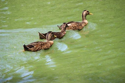 Ducks, Mallard, Birds, Wading, Wading Birds, Pond, Lake