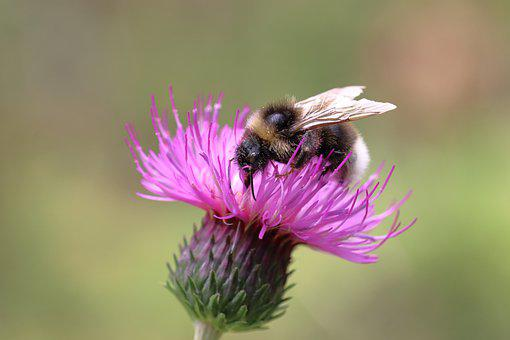 Hummel, Flower, Thistle, Winged Insect, Insect