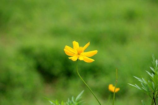 Sulfur Cosmos, Flower, Plant, Yellow Cosmos