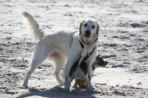 Dogs, Retriever, Beach, Friends, Sand, Playing, Playful