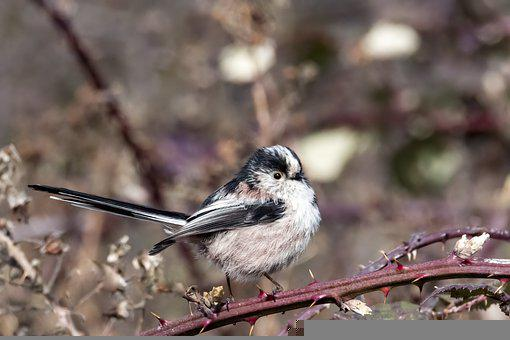 Long-tailed Tit, Bird, Branch, Long-tailed Bushtit