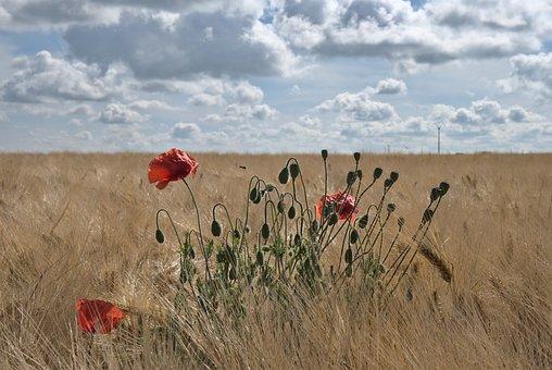 Poppies, Wheat, Field, Flowers, Buds, Plants, Farm