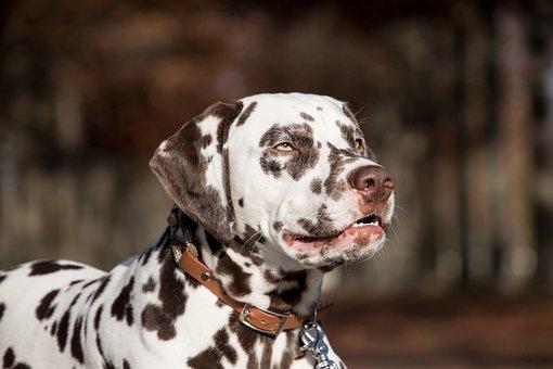 Dalmatian, Dog, Pet, Animal, Domestic Dog, Canine