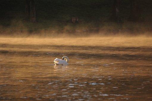 Swan, River, Dawn, Mute Swan, Water, Sunrise, Morning