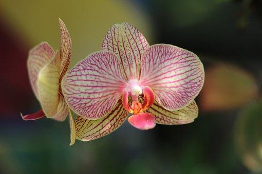 Flower, Orquidea, Orchid, Orchids, Plant, Nature