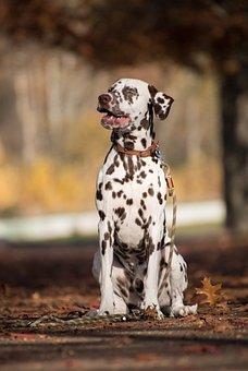 Dalmatian, Dog, Sitting, Outdoors, Pet, Animal