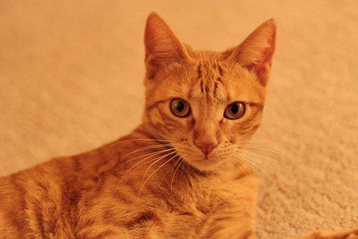 Cat, Orange, Kitty, Feline, Pet, Cute, Mammal, Portrait