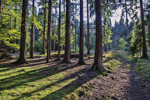 Forest, Trees, Path, Trail, Light, Shading, Scenic