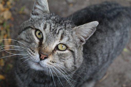 Cat, Feline, Cat's Eyes, Whiskers, Face, Tabby