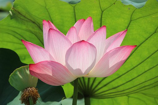 Flower, Lotus, Water Lily, Bloom, Blossom