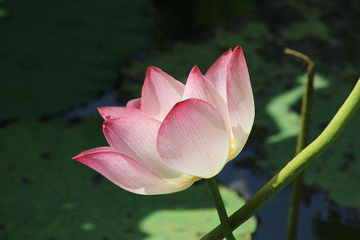 Lotus, Flower, Water Lily, Bloom, Blossom
