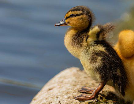 Duckling, Duck, Mallard, Young, Bird, Waterfowl