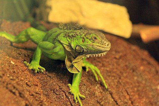 Iguana, Animal, Zoo, Green Iguana, American Iguana