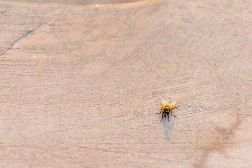 House Fly, Fly, Bug, Wings, Pest, Insect, Animal