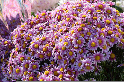 Flowers, Crysanthemum, Floral, Bloom, Colorful