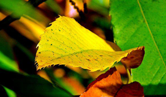 Chestnut, Leaf, Tree, Plant, Flora, Garden, Nature