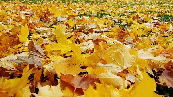 Maple, Leaves, Autumn, Foliage, Ground, Forest, Nature