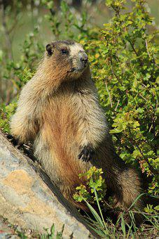 Marmot, Animal, Meadow, Olympic Marmot, Rodent, Mammal