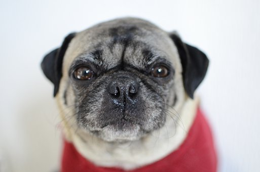 Pug, Dog, Puppy, Pet, Animal, Pup, Young Dog