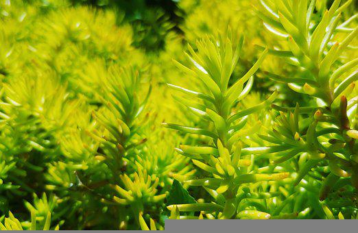 Jenny Stonecrop, Plants, Garden, Reflexed Stonecrop