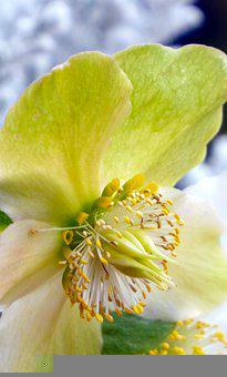 Flower, Rose, Petals, Pistils, Flora, Blossom, Bloom