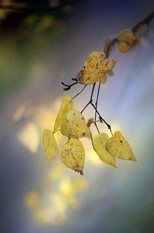 Birch, Leaves, Branch, Tree, Foliage, Flora, Autumn