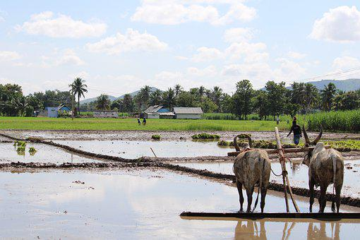 Water Buffaloes, Ploughing, Farm, Farming, Rice Fields