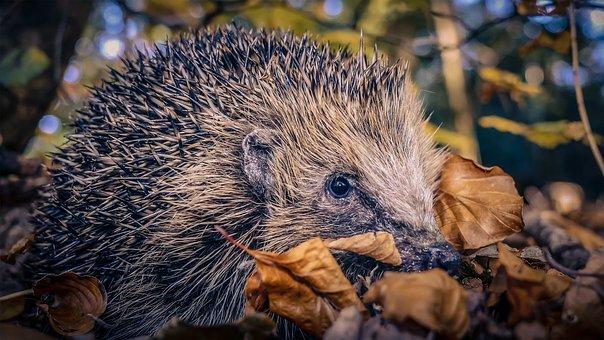 Hedgehog, Autumn, Mammal, Foraging, Spur