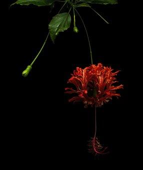 Hibiscus Schizopetalus, Flower, Red, Beautiful, Plant