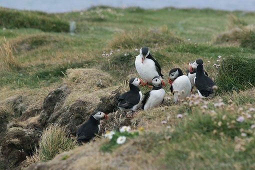 Bird, Puffin, Nature, Fauna, Landscape, Iceland, Wild