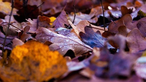 Leaves, Wood, Forest, Tree, Ground, Leaf, Oak, Drops
