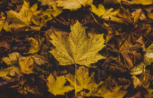 Leaves, Foliage, Autumn, Ground, Maple, Fall, Forest