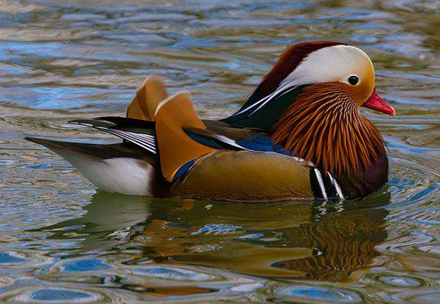 Duck, Mandarin, Bird, Animal, Colorful, Plumage, Nature