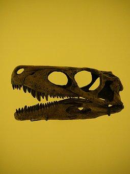 Dinosaur, Skull, Fossil, Reflection, Skeleton, Bone