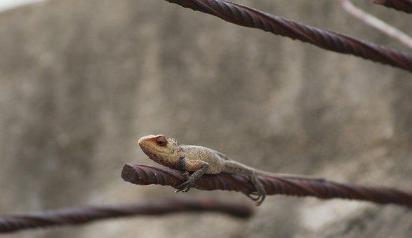 City Lizard, Lizard, Reptile, Asia, Urban