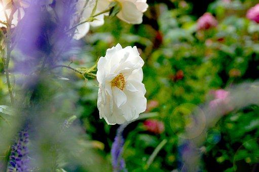 Moss-rose Purslane, Flower, Plant, White Flower, Bloom
