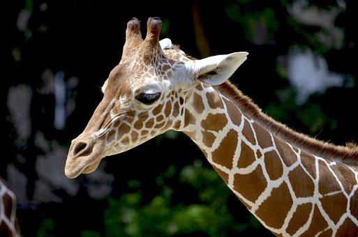 Giraffe, Reticulated Giraffe, Neck, Beautiful, Africa