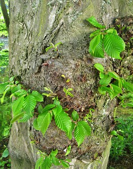 Spring, Beech, Young Leaves, Shoots, Log
