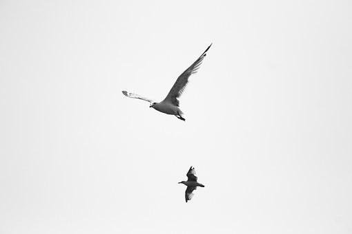 Bird, Fly, Sky, White, Wings Vector, Nature, Animal