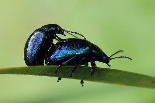Sky-blue Leaf Beetle, Pairing, Beetle, Blue