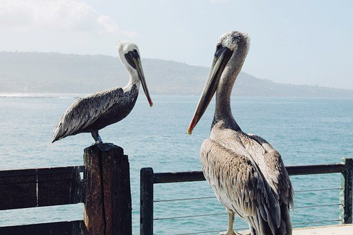 Heron, Brid, Animal