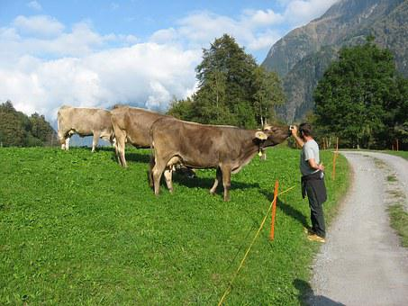 Mountains, Cows, Alpine, Animal Lover, Cattle
