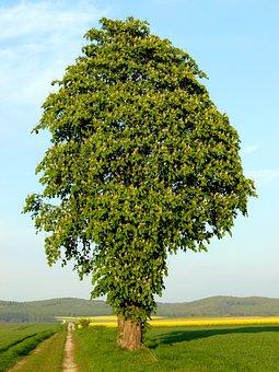 Chestnut Tree, Trees, Chestnut, Chestnut Leaves, Green