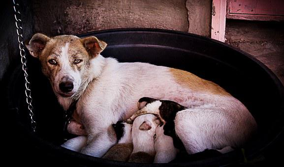 Dogs, Puppies, Mother, Eating, Feeding, Milk, New Born