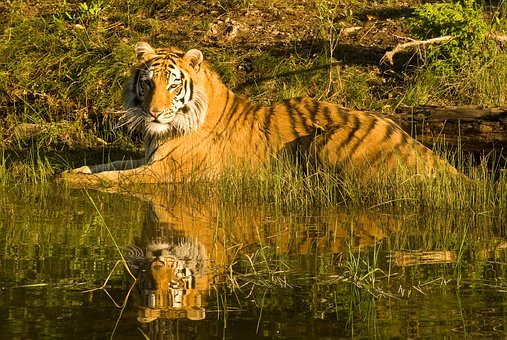 Tiger, Siberian Tiger, Tiger Reflection, In Water