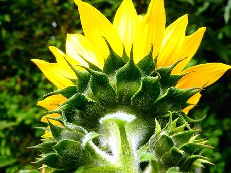 Sun Flower, Flowers, Bud, Late Summer, Garden, Nature